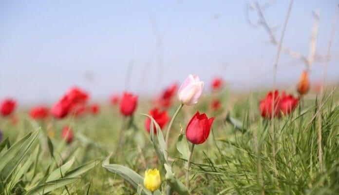 Тюльпаны Геснер в Калмыкии