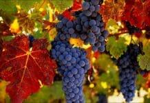 Виноград Новемберфест