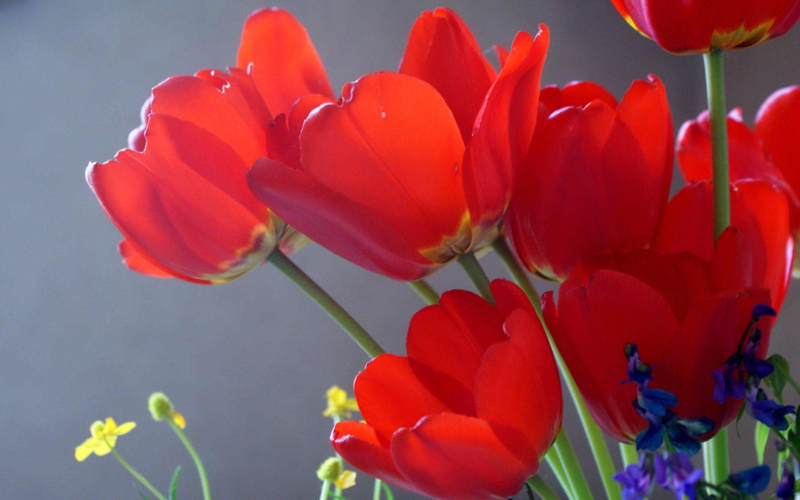 май. тюльпаны