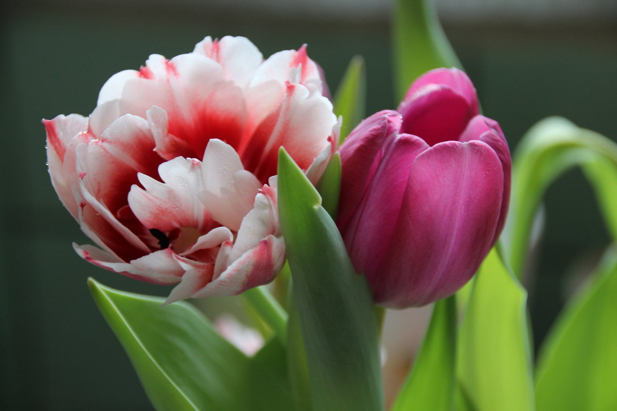 май.тюльпаны