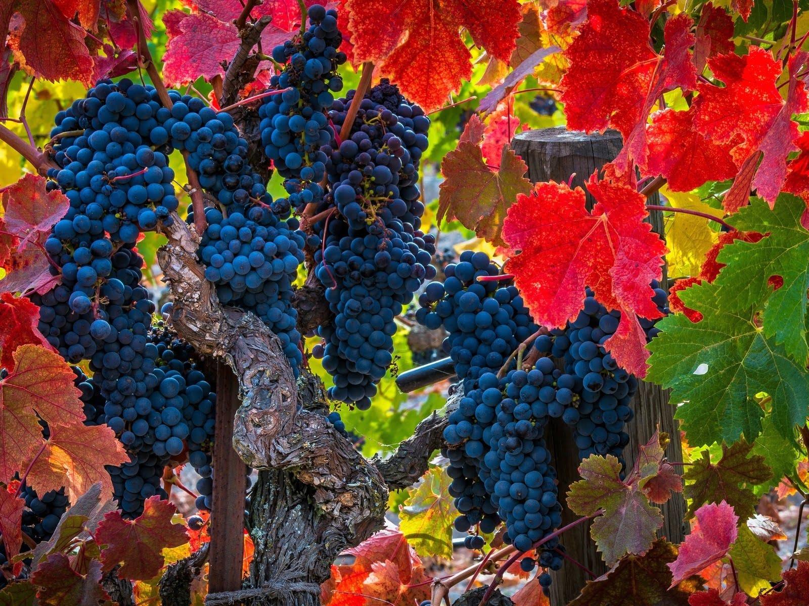 виноград шампанское